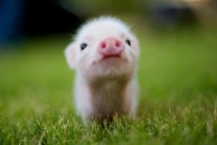 Animals-wallpaper-HD-pig