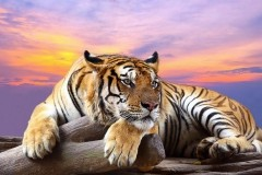 Animals-wallpaper-HD-tiger