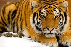 animali_tigre_tiger
